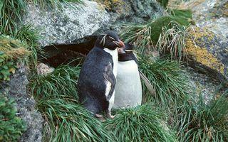 Бесплатные фото пингвины,клювы,перья,камни,мох,трава
