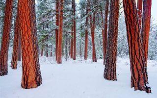 Фото бесплатно сосны, зима, снег