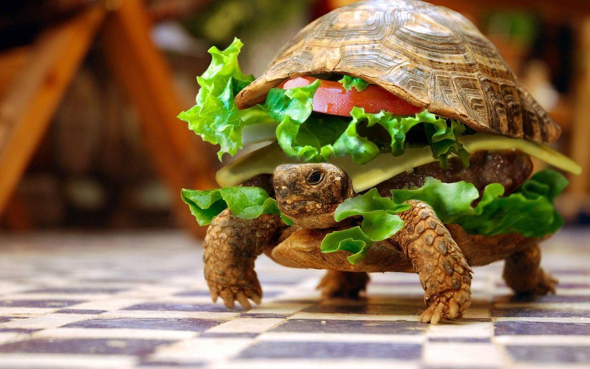 Фото бесплатно черепаха, чизбургер, панцирь, зелень, сыр, котлета, морда, лапы, юмор