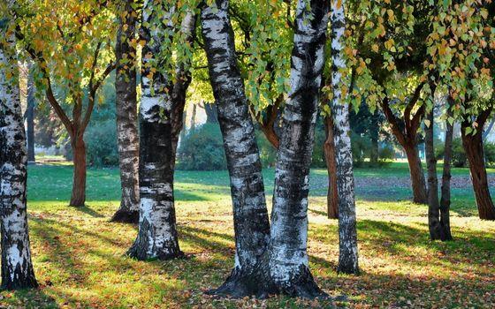 Заставки парк,деревья,березы,трава,листва,кустарник
