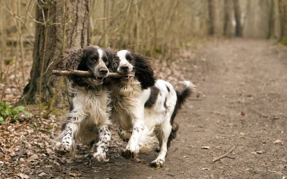 Photo free dogs, a stick, a forest