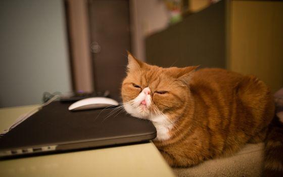 Фото бесплатно ноутбук, шерсть, кошка