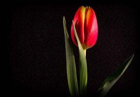 Фото бесплатно черный фон, цветы, тюльпан