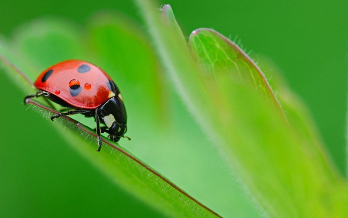 Фото бесплатно лист, зеленый, божья коровка, красная, лапки, макро, насекомые