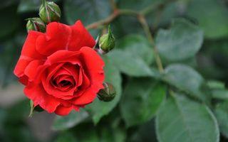 Бесплатные фото роза,лепестки,красные,бутоны,листья,зеленые