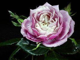 Бесплатные фото цветок,роза,лепестки,капли,вода,листья,зеленые