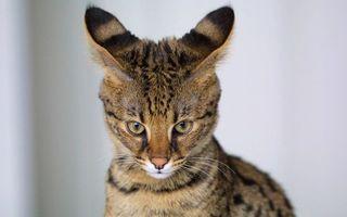 Заставки кошка, морда, уши
