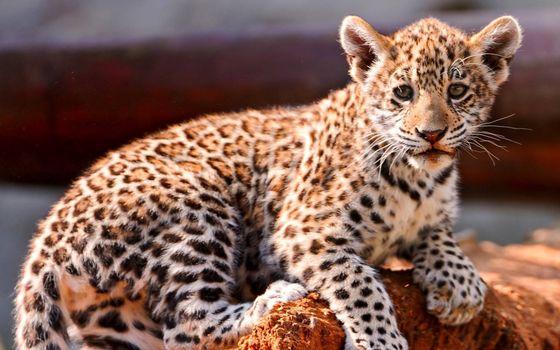 Заставки котенок леопарда, маленький, игривый
