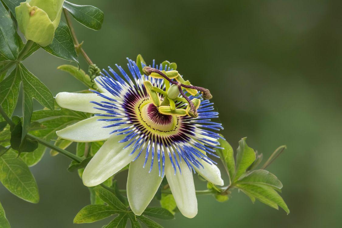 Фото бесплатно Пассифлора, страстоцвет, Passiflora, цветок, флора, цветы