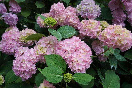 Фото бесплатно гортензия, цветы, флора