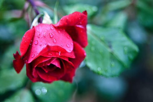 Download flowers, rose pictures for free