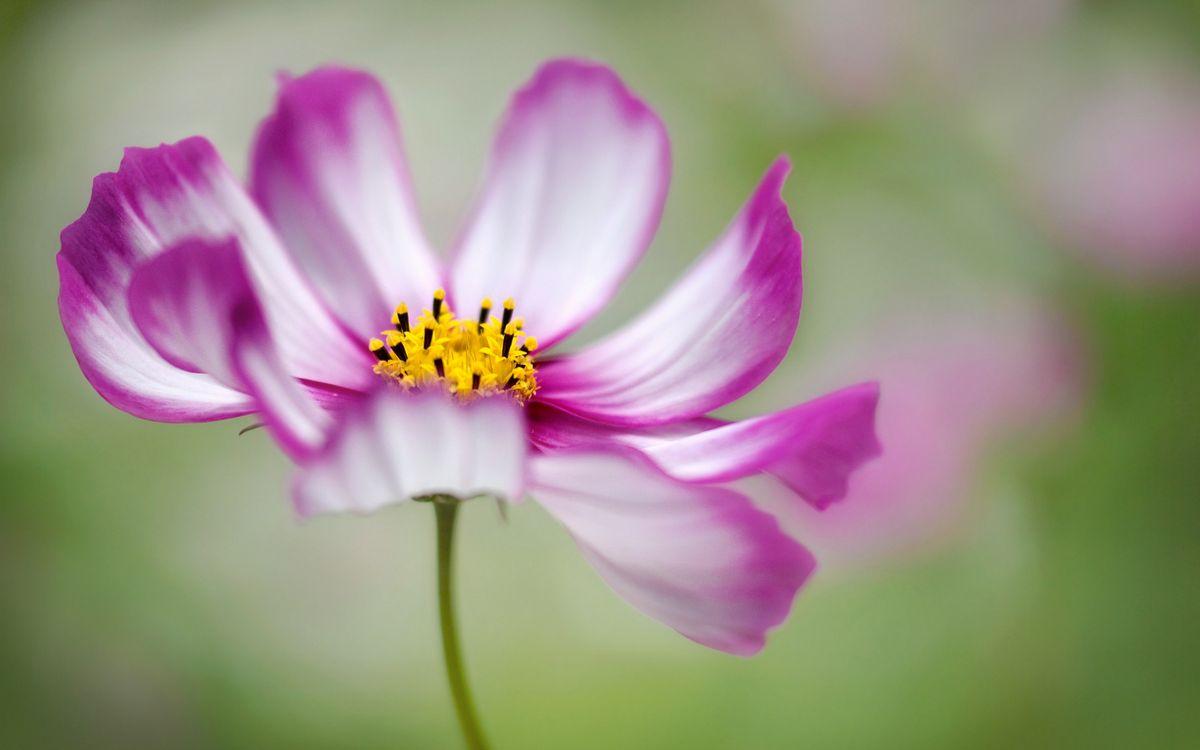 Фото бесплатно цветочек, лепестки, розовые, пестики, тычинки, стебель, цветы
