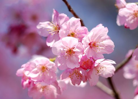 Photo free blooming tree, cherry blossoms, small flowers