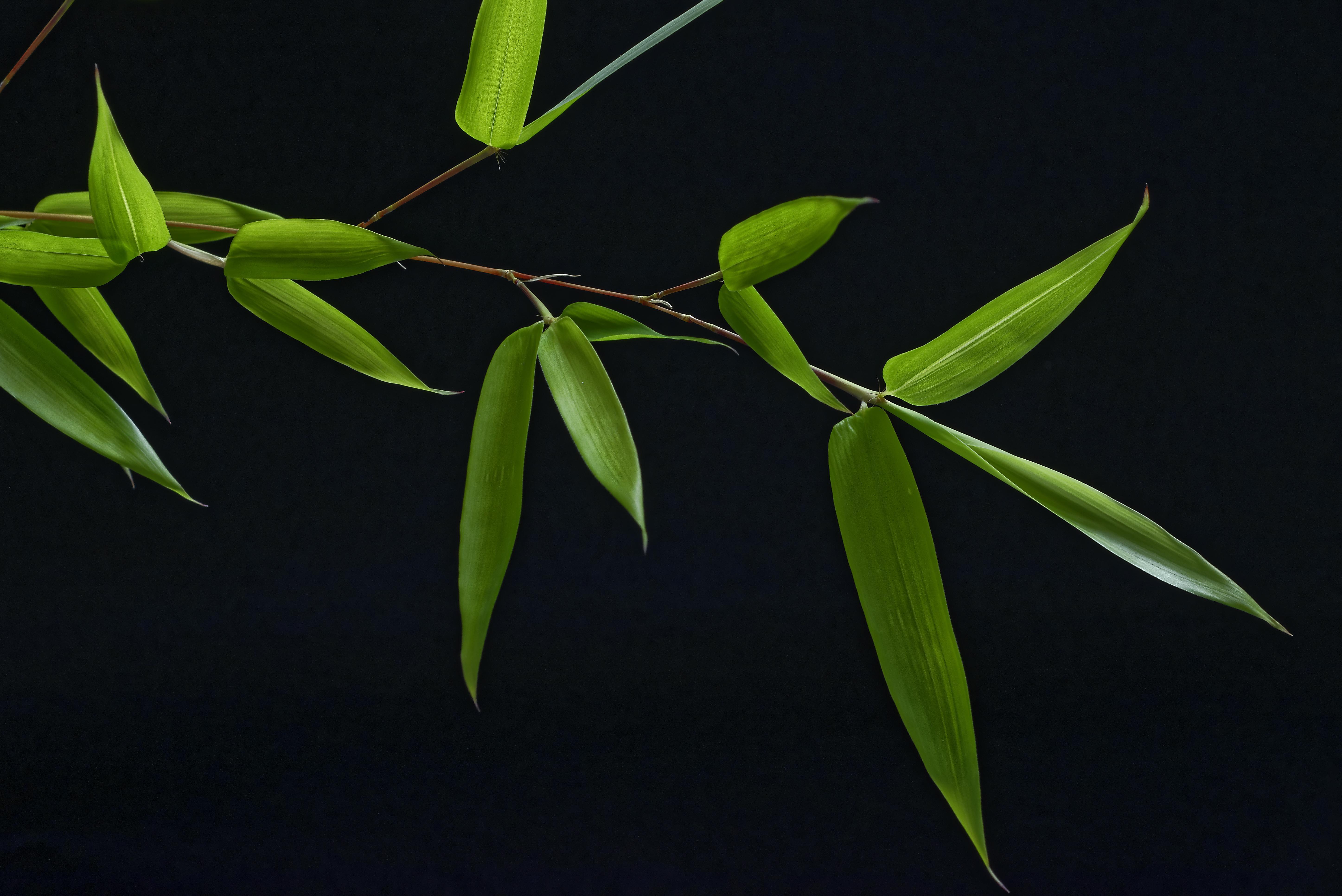 Обои Bamboo, ветка, бамбук, чёрный фон