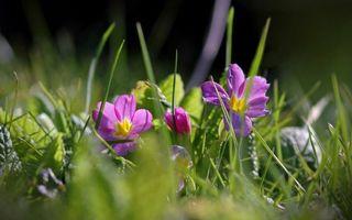 Бесплатные фото цветочки,лепестки,сиреневые,трава,зеленая,поляна