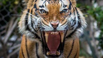 Бесплатные фото тигр,хищник,оскал,клыки,пасть,животное