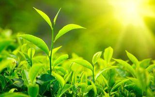 Бесплатные фото чай, кусты, ветви, листья, солнце