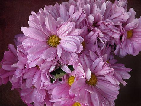 Photo free flowers, chrysanthemum, drops