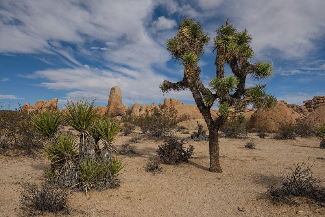 Фото бесплатно Joshua Tree National Park, пустыня, деревья, скалы, пейзаж, пейзажи