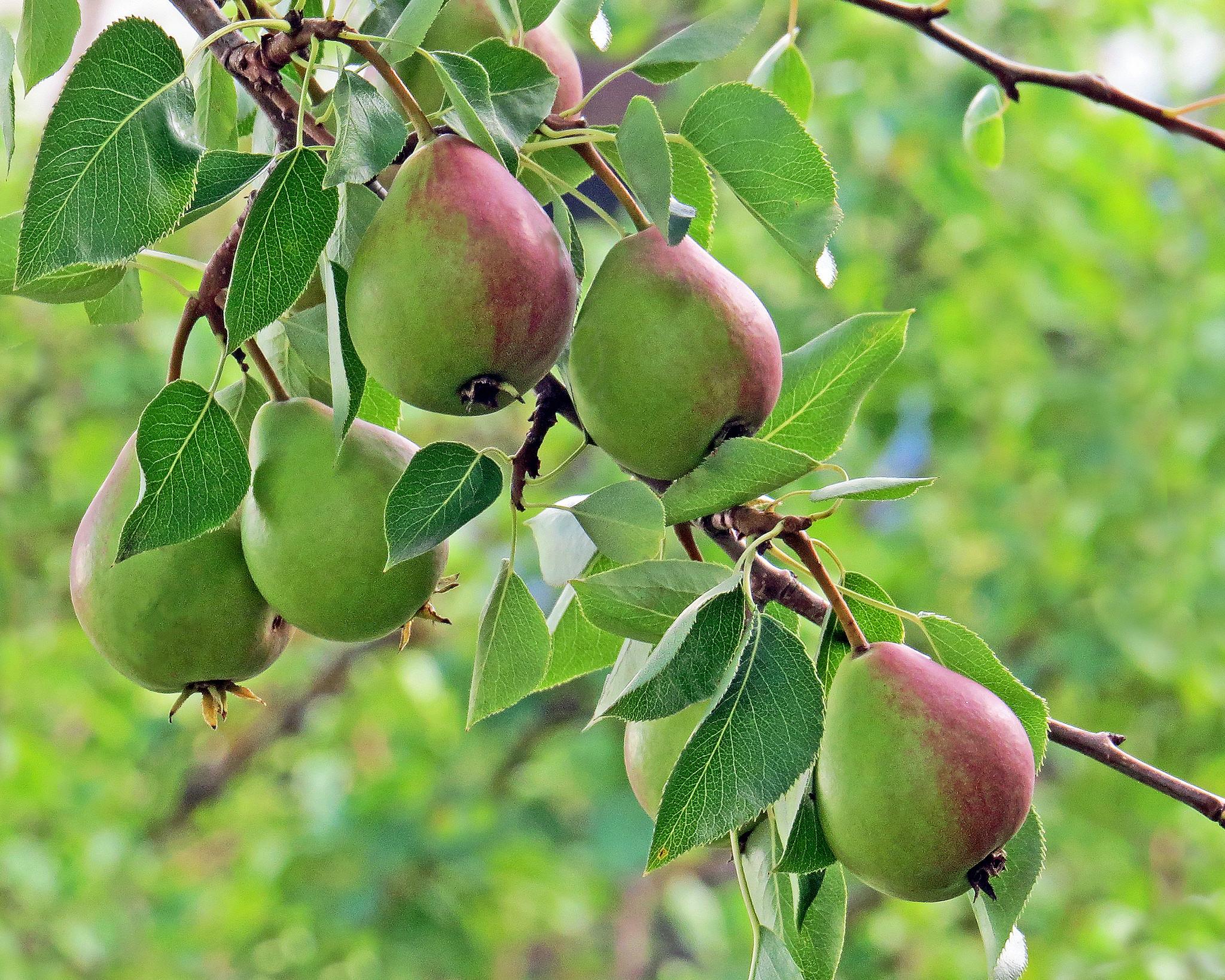 обои груши, груша, дерево, ветки картинки фото