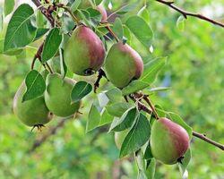Фото бесплатно груши, груша, дерево, ветки, плоды, фрукты, природа