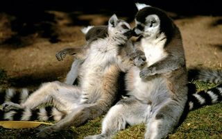 Photo free lemurs, muzzles, paws