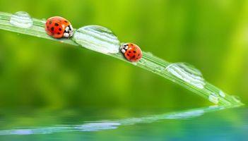 Фото бесплатно божьи коровки, солнце, вода, капли, зелень, лето, божья коровка, жук, жуки, макро, насекомые, роса