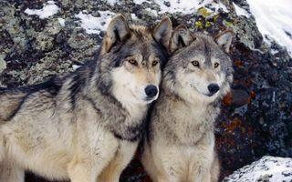 Бесплатные фото волки,пара,морды,взгляд,шерсть,камни,снег