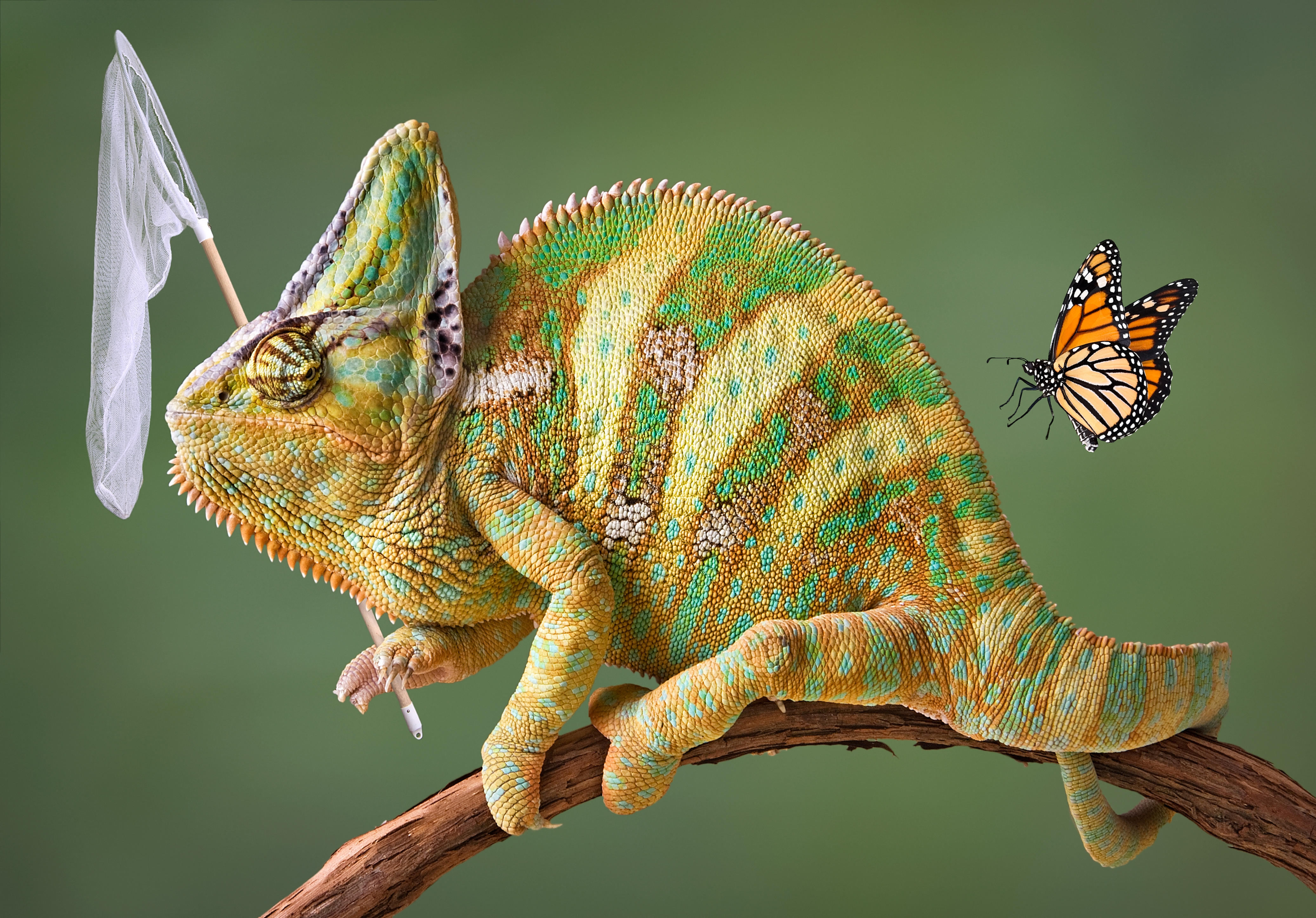 Обои хамелеон, сачёк, бабочка