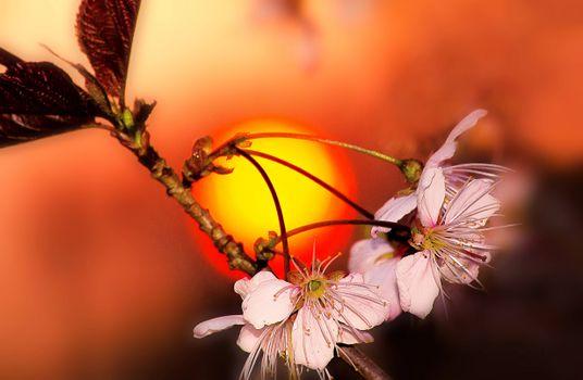 Photo free cherry, blossoms, sunset
