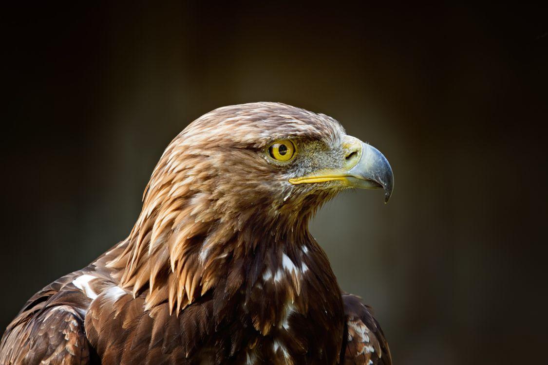 Фото бесплатно орёл, птица, хищник - на рабочий стол