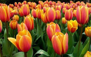Фото бесплатно тюльпаны, лепестки, бутоны, стебли, листья