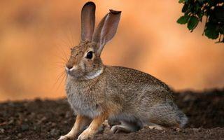Бесплатные фото заяц,морда,уши,лапы,шерсть,земля