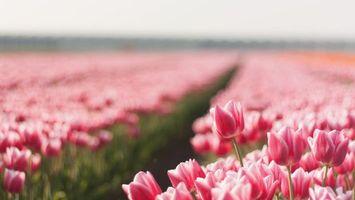 Бесплатные фото поле,тюльпаны,бутоны,лепестки,розовые,стебли