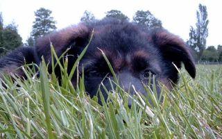 Фото бесплатно щенок, трава, волосы