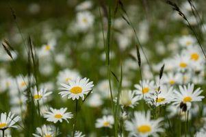 Обои поле, трава, ромашки, цветы, макро