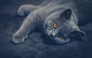 Фото бесплатно кот, британец, серый, морда, лапы, лежит