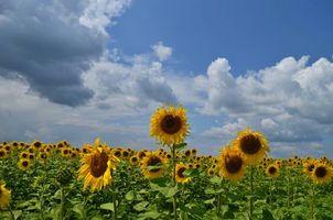 Фото бесплатно поле, подсолнухи, небо, облака, пейзаж