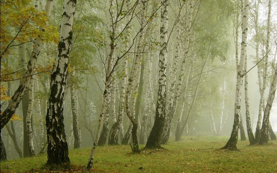 Заставки роща,березы,трава,поляна,листва,туман