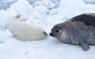 Бесплатные фото тюлень,белек,детеныш,морды,ласты,снег,лед