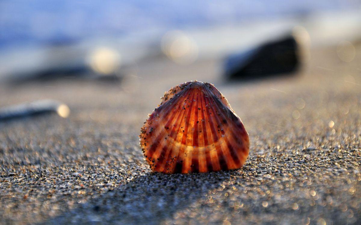 Фото бесплатно ракушка, песок, пляж, макро