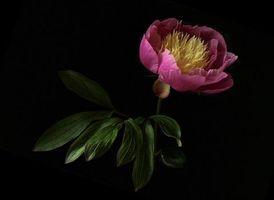 Фото бесплатно Пион, цветок, флора