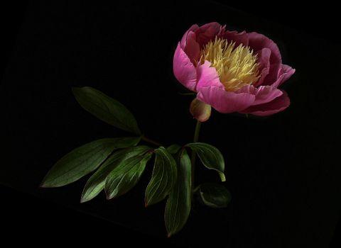 Photo free Peony, flower, flora