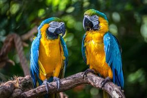 Photo free Blue Macaws, parrots, birds