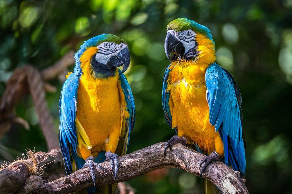 Фото бесплатно Blue Macaws, попугаи, птицы, птицы