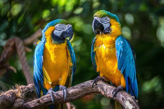 Бесплатные фото Blue Macaws,попугаи,птицы