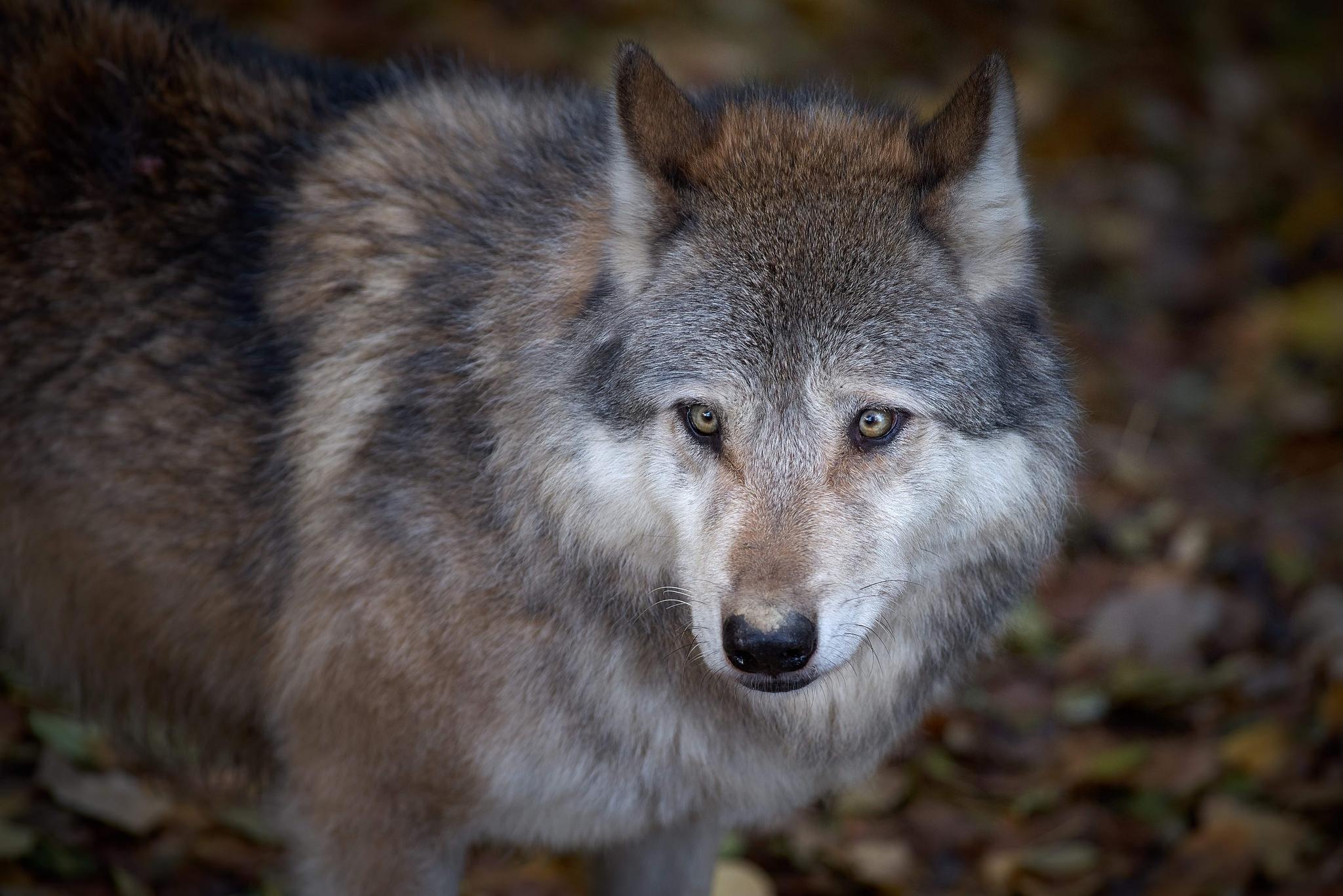 Обои волк, хищник, животное