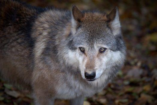 Фото бесплатно волк, хищник, животное