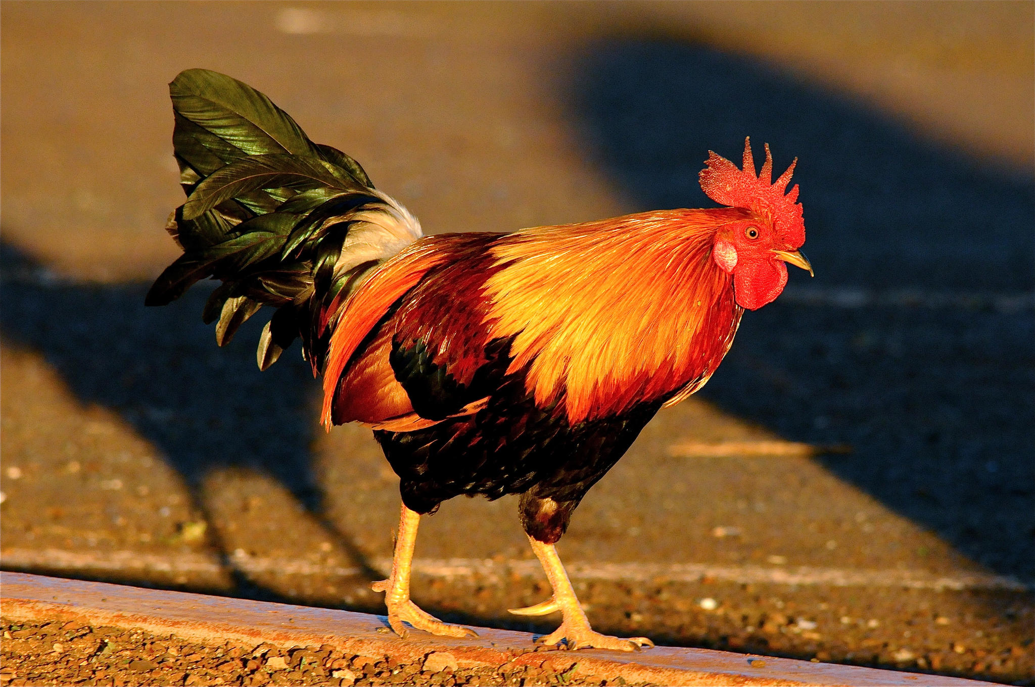 rooster Rooster - translation to spanish, pronunciation, and forum discussions.