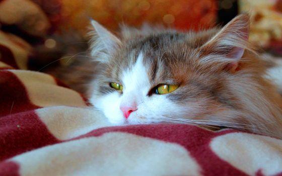 Заставки кошка, отдых, одеяло